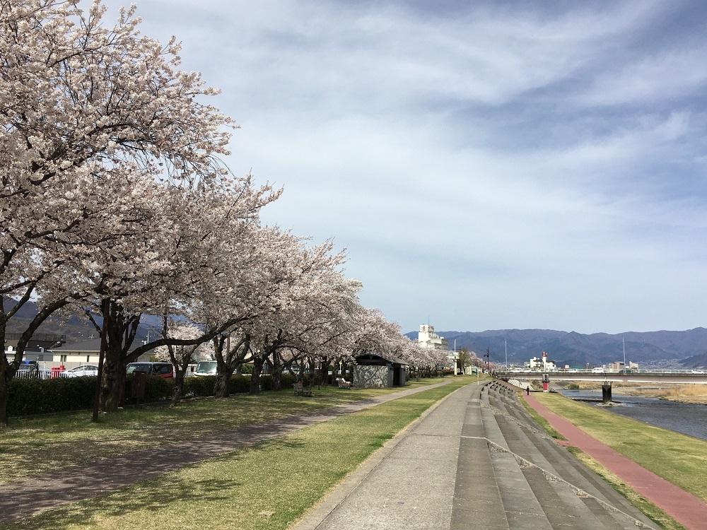 エンディングの桜