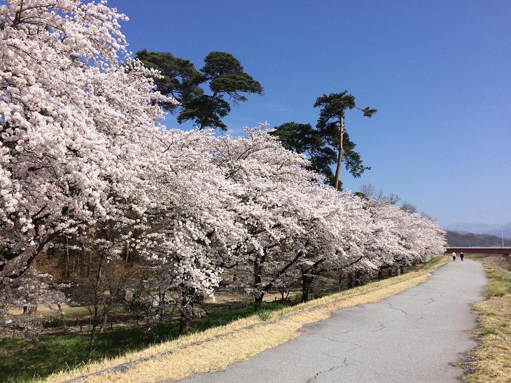 万力公園の桜
