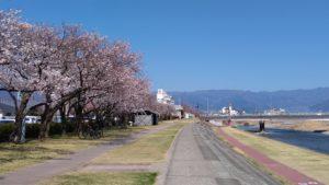 笛吹市役所前の桜並木